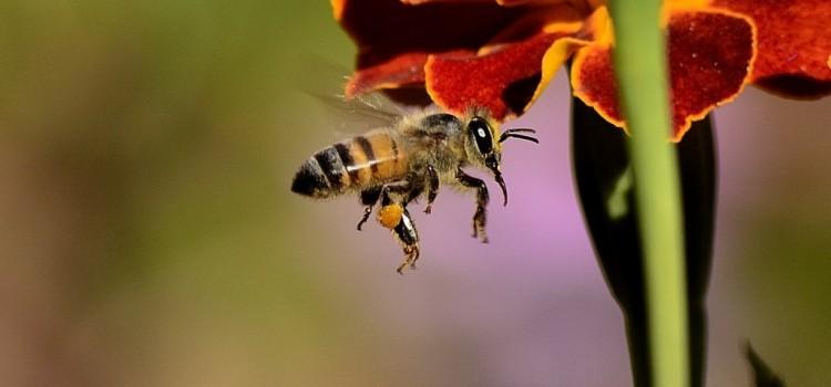 Vortrag für die Unter- und Mittelstufe: Honigbienen